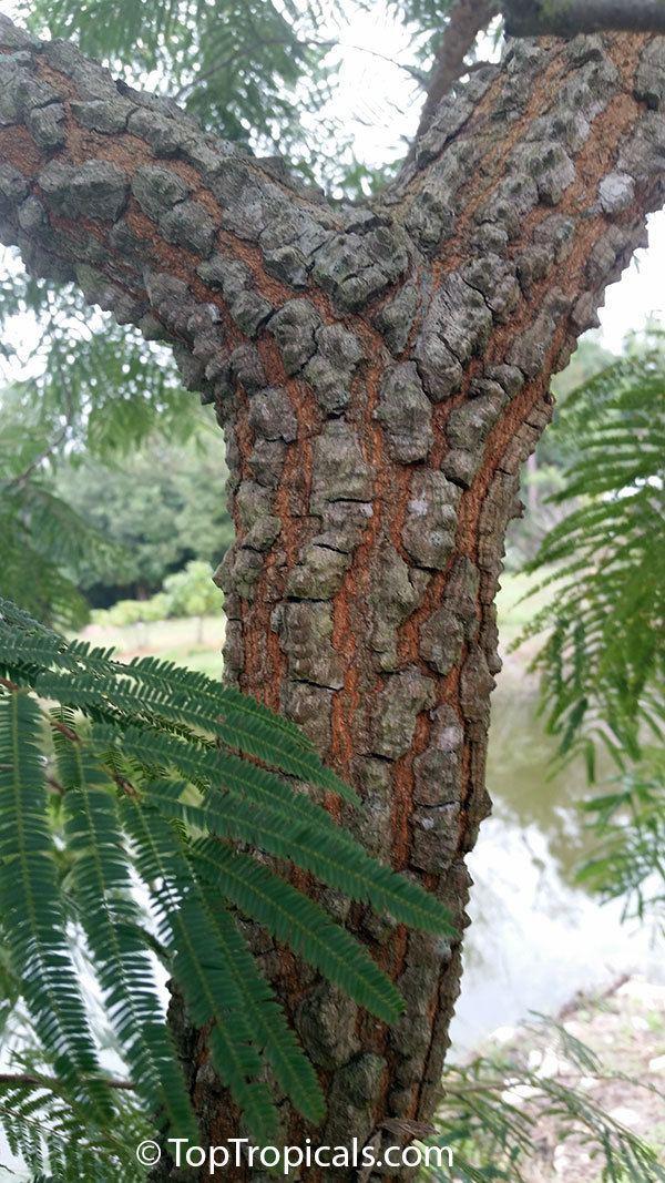 Anadenanthera colubrina Anadenanthera colubrina Vilca Huilco Huilca Wilco Willka Cebil