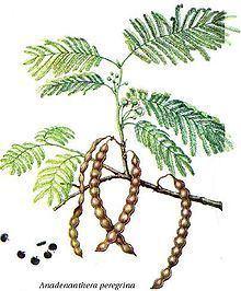 Anadenanthera Anadenanthera Wikipedia