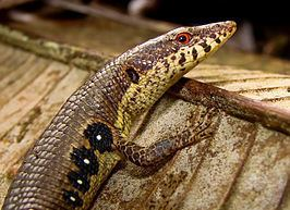 Anadia (genus) httpsuploadwikimediaorgwikipediacommonsthu