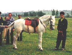 Anadolu Pony wwwhorsebreedspicturescomwpcontentuploads201