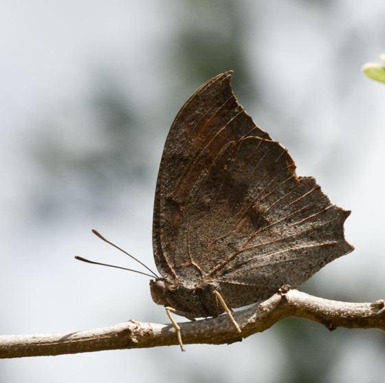 Anaea troglodyta Florida Leafwing Anaea troglodyta BugGuideNet