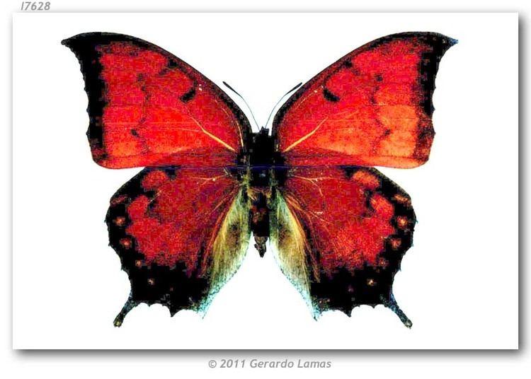 Anaea troglodyta butterfliesofamericacomimagesNymphalidaeCharax
