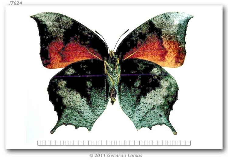 Anaea troglodyta Anaea troglodyta floridalis type specimens
