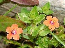 Anagallis arvensis httpsuploadwikimediaorgwikipediacommonsthu