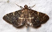 Anageshna primordialis httpsuploadwikimediaorgwikipediacommonsthu