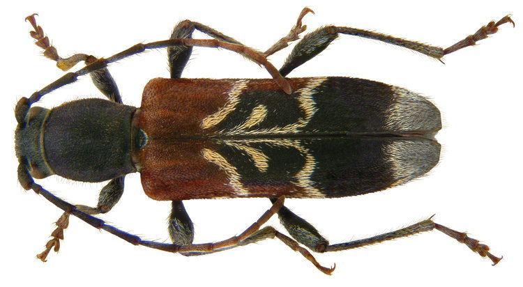 Anaglyptus mysticus FileAnaglyptus mysticus Linn 1758 female 3296101992jpg