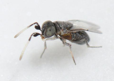 Anagyrus Encyrtid Wasp Anagyrus kamali