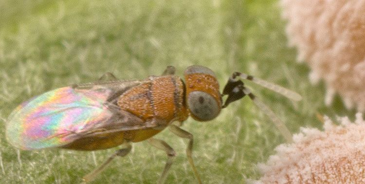Anagyrus Anagyrus pseudococci Bioplanet