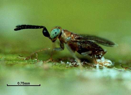 Anagyrus Anagyrus fusciventris