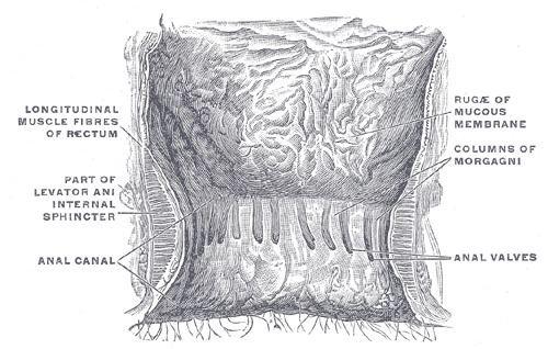 Anal sinuses