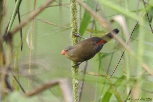 Anambra waxbill African Bird Club