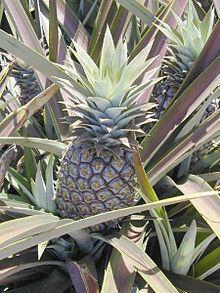 Ananas httpsuploadwikimediaorgwikipediacommonsthu