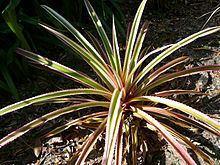 Ananas bracteatus httpsuploadwikimediaorgwikipediacommonsthu
