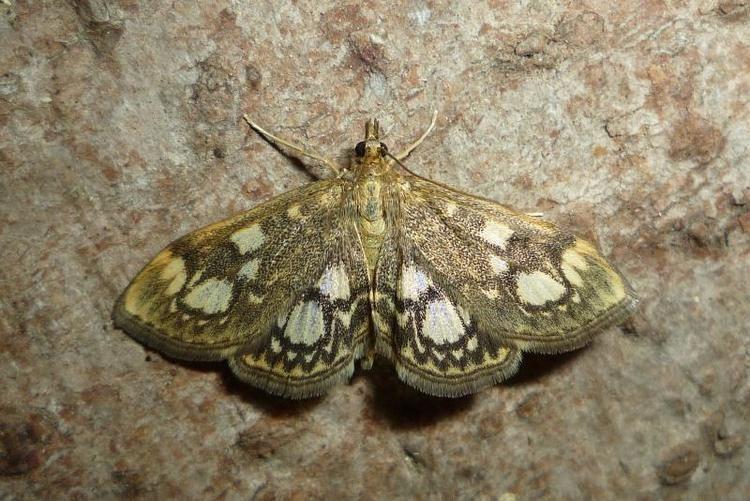 Anania coronata Anania Lepidoptera of Belarus