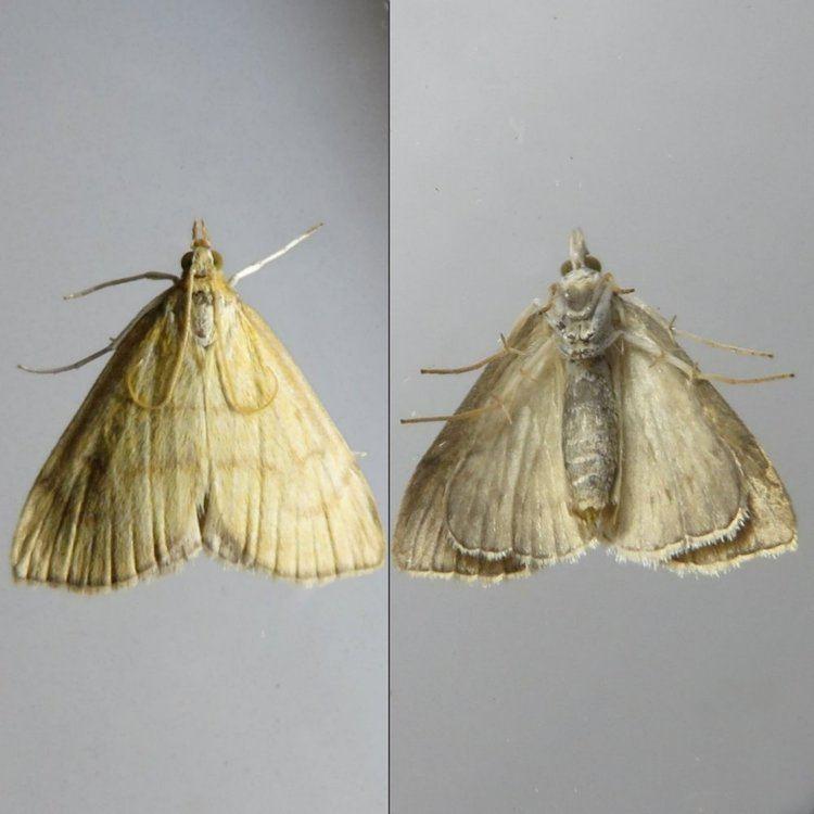 Anania crocealis Ochreous Pearl Anania crocealis Moth 1385 63022