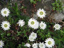 Anaphalioides httpsuploadwikimediaorgwikipediacommonsthu