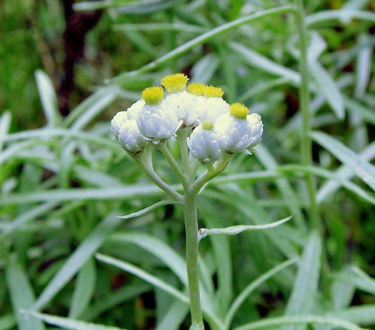 Anaphalis margaritacea Anaphalis margaritacea pearly everlasting Go Botany