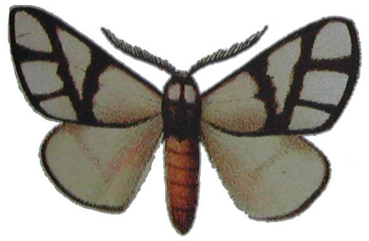 Anaphe (moth) mississippientomologicalmuseumorgmsstateeduima