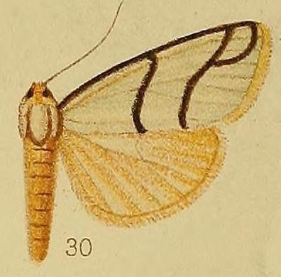 Anaphosia astrigata