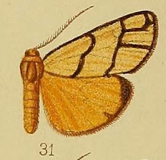 Anaphosia pectinata