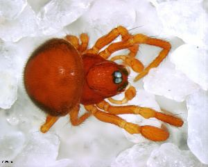 Anapidae BOLD Systems Taxonomy Browser Anapidae family