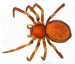 Anapidae Familles Anapidae Comaroma simoni Les araignes de Belgique et
