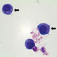 Anaplasma phagocytophilum httpsuploadwikimediaorgwikipediacommonsthu