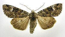 Anaplectoides prasina httpsuploadwikimediaorgwikipediacommonsthu