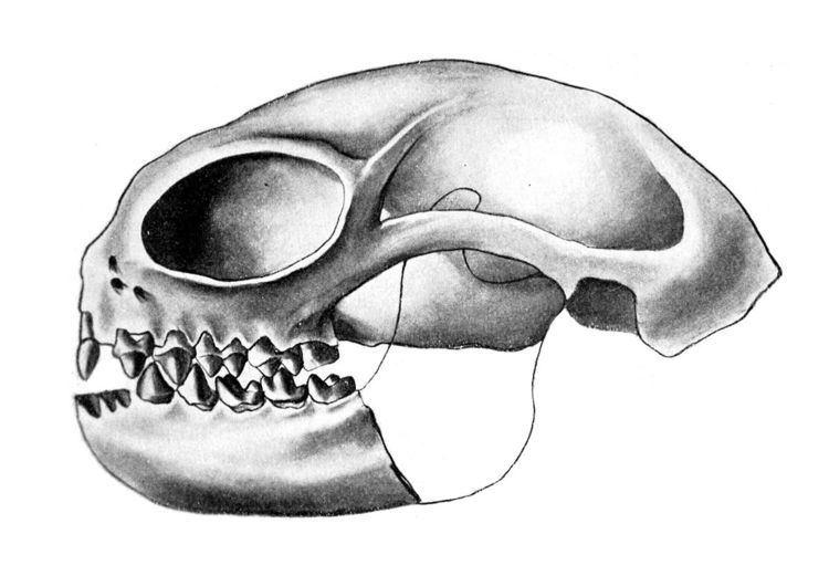 Anaptomorphinae