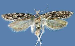 Anarsia Moth Photographers Group Anarsia lineatella 2257