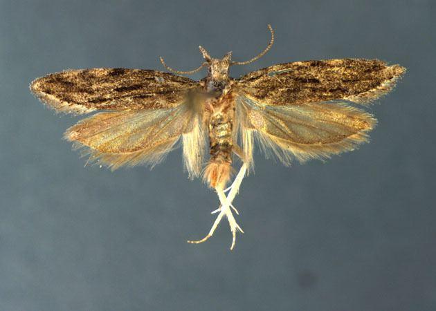 Anarsia Anarsia lineatella
