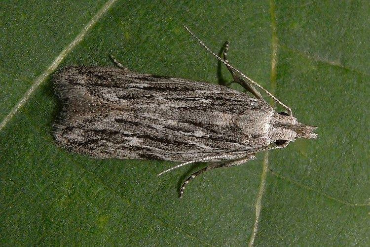 Anarsia Anarsia Lepidoptera of Belarus