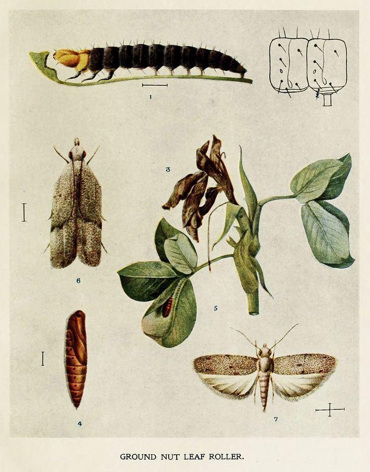Anarsia ephippias