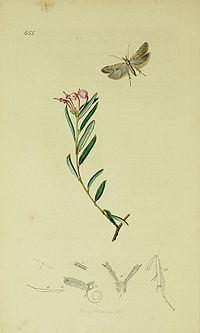 Anarsia spartiella httpsuploadwikimediaorgwikipediacommonsthu