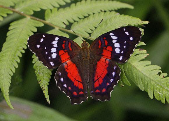 Anartia Butterflies of Amazonia Anartia amathea