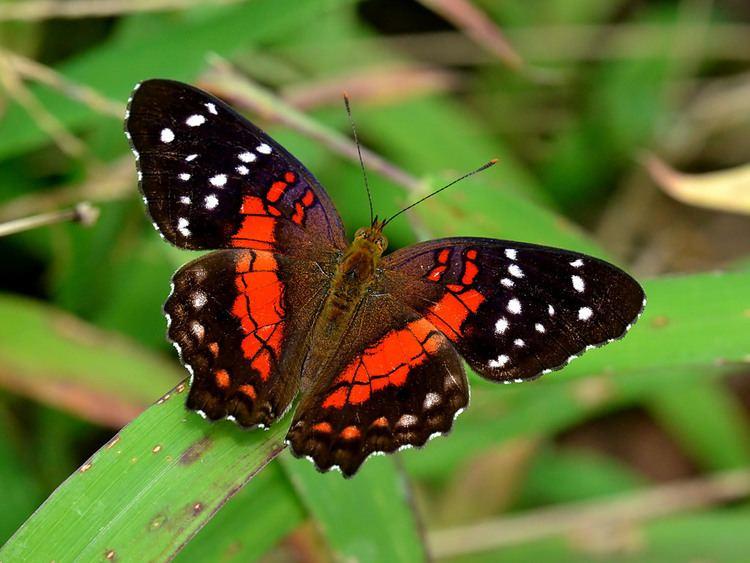 Anartia Anartia amathea amathea Anartia amathea amathea Flickr