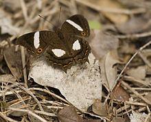 Anartia chrysopelea httpsuploadwikimediaorgwikipediacommonsthu