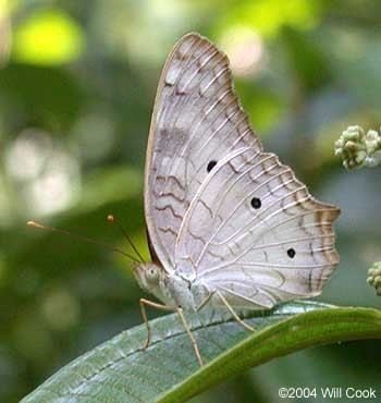 Anartia jatrophae Anartia jatrophae White peacock butterfly Papilio jatrophae