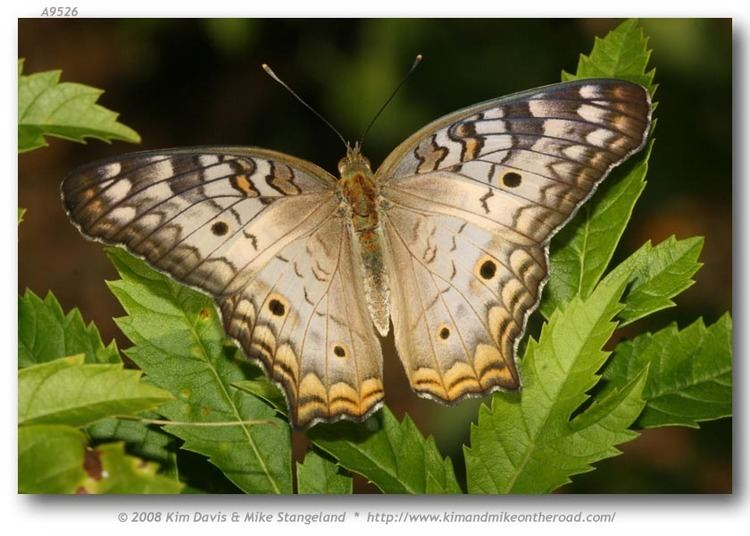 Anartia jatrophae butterfliesofamericacomimagesNymphalidaeNympha