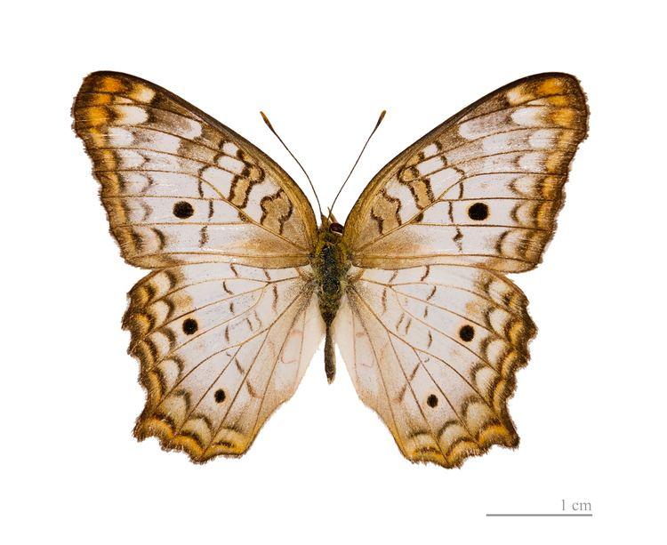 Anartia jatrophae FileAnartia jatrophae MHNT dosjpg Wikimedia Commons