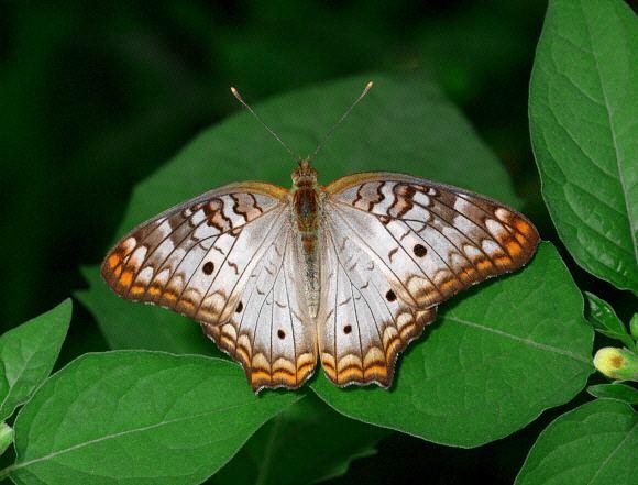 Anartia jatrophae Butterflies of Amazonia Anartia jatrophae