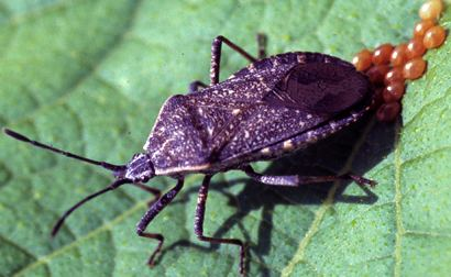 Anasa tristis Squash Bugs Still Making Growers Crazy After All These Years