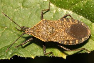 Anasa tristis Anasa tristis Squash bug Discover Life