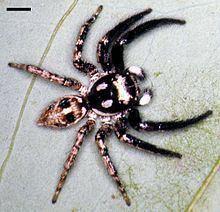 Anasaitis canosa httpsuploadwikimediaorgwikipediacommonsthu
