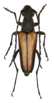 Anastrangalia Cerambycidae Anastrangalia dubia set 15 The Bugmaniac INSECTS