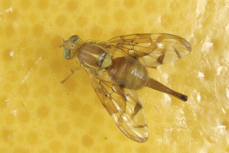 Anastrepha FileAnastrepha ludens 5179020jpg Wikimedia Commons