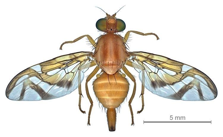 Anastrepha FileAnastrepha obliqua female dorsaljpg Wikimedia Commons