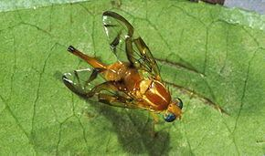 Anastrepha httpsuploadwikimediaorgwikipediacommonsthu