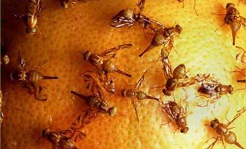 Anastrepha ludens Mexican fruit fly Anastrepha ludens Loew