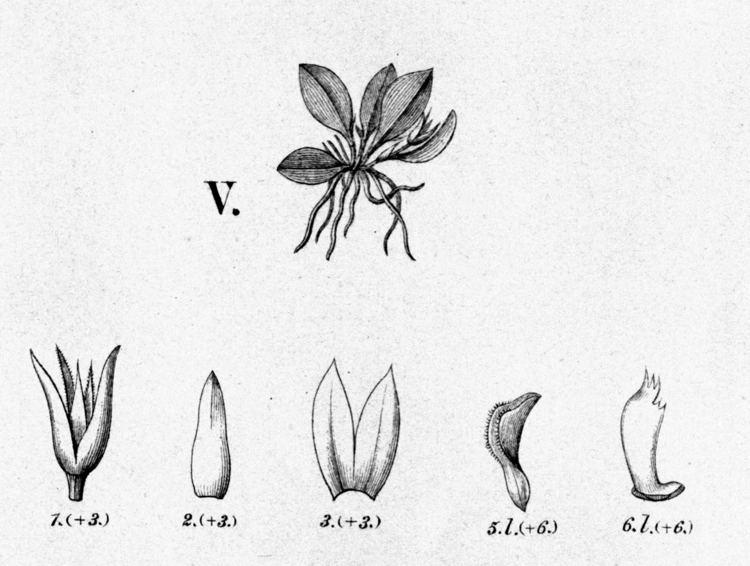 Anathallis microphyta uploadwikimediaorgwikipediacommons771Anatha